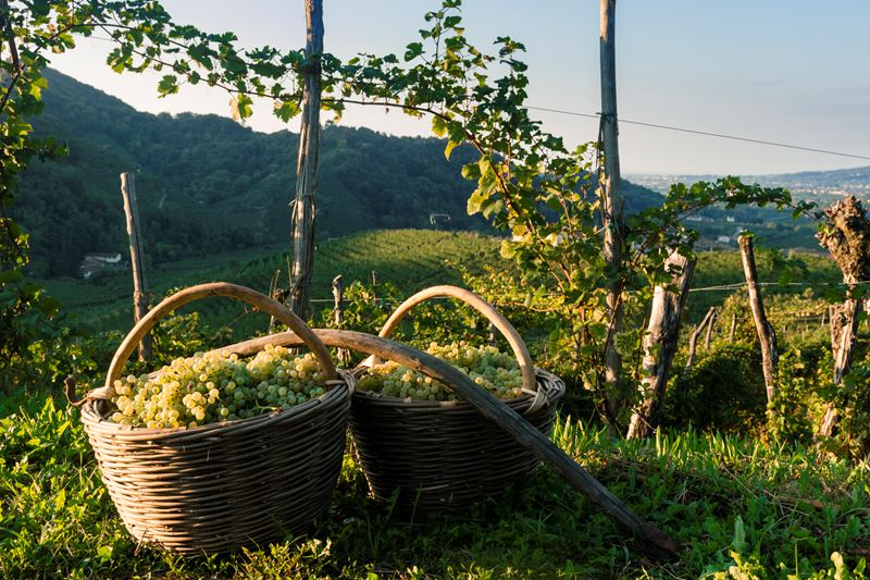 Bild Grapes�20basket.jpg
